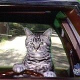 Tunsis The Driving Cat