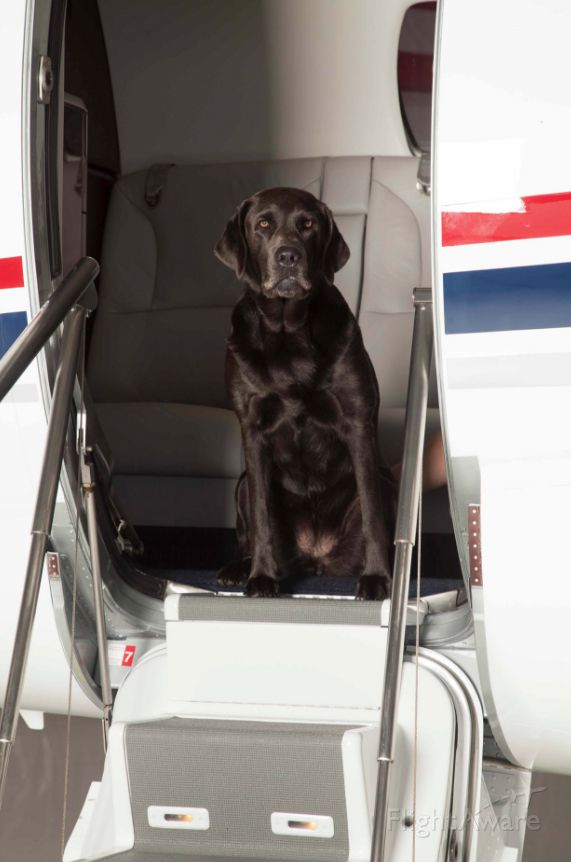 Cessna Citation Excel/XLS (N143CG) - Annie the airport dog is making herself at home in the Excel.