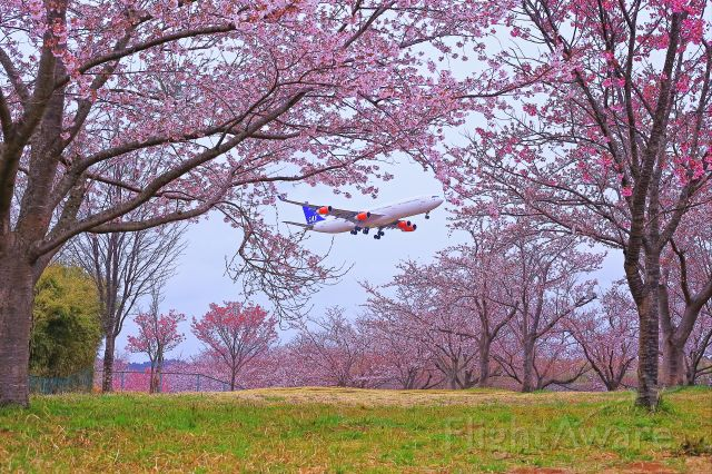 Airbus A340-300 (OY-KBI) - Spring has come!!<br />Tunnel of Cherry Blossoms with SAS..