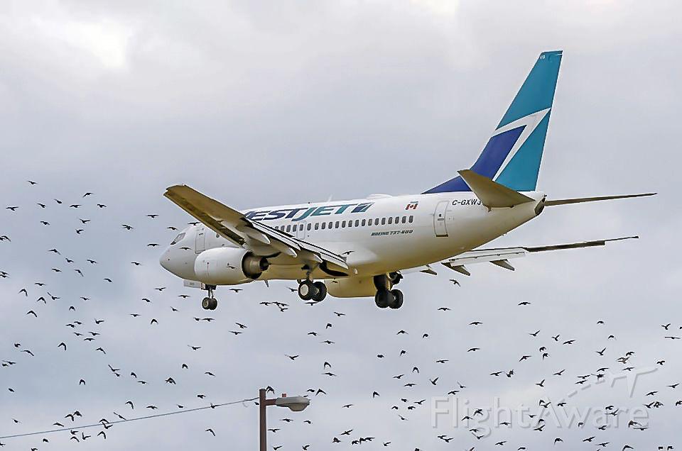 Boeing 737-700 (C-GXWJ) - Birds! Birds! Birds!