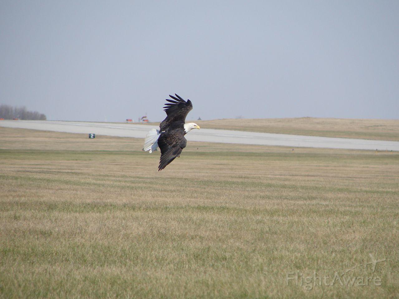 — — - Bald eagle soaring at MCW